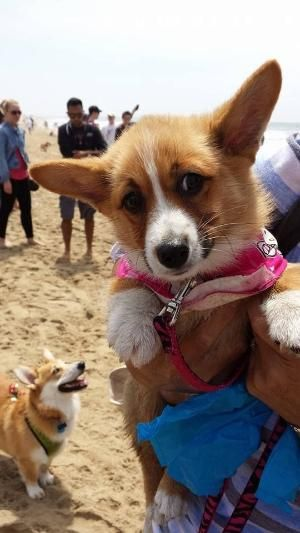 Corgi Puppy We Met At Socal Corgi Beach Day By Deidre Corgi