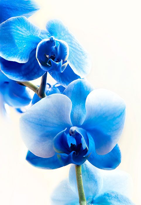 Blue Orchids Flowers Flowers Pretty Flowers Blue Orchids