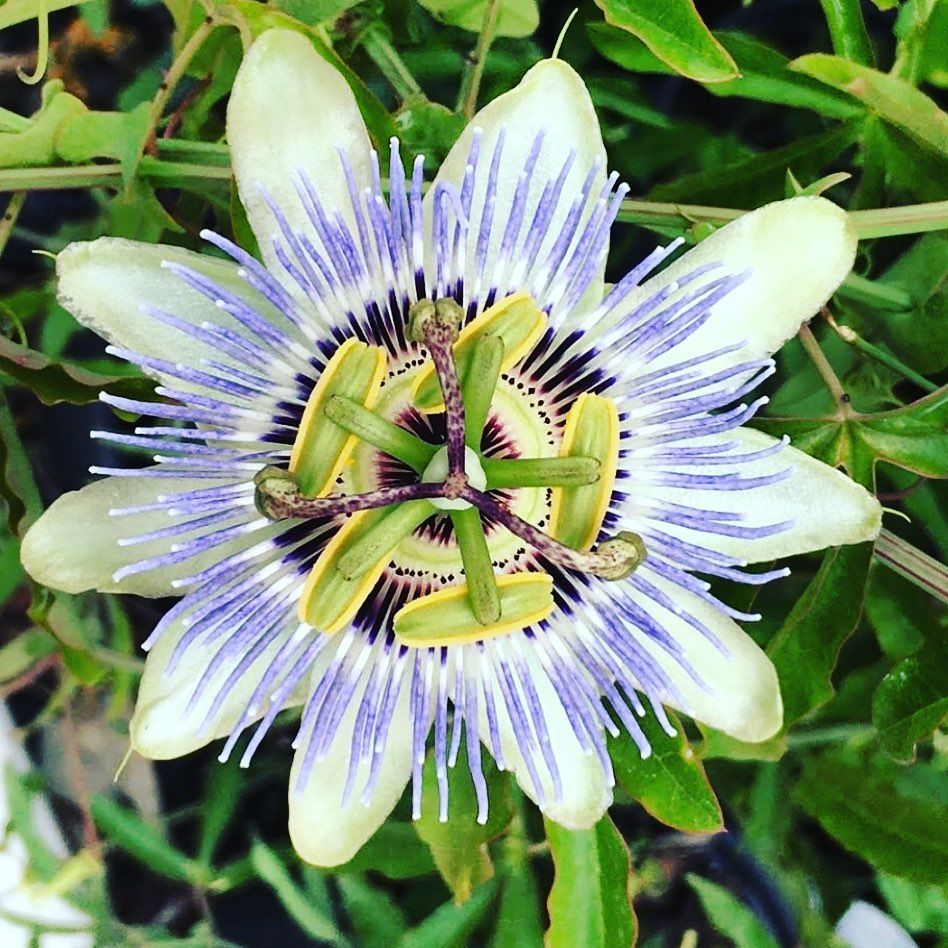 Passiflora Passiflores Passifloras Passiflore Pasiflora Flower Flowers Flowerstagram Flowerslovers Flowe Flower Photos Flowers Photography Passiflora