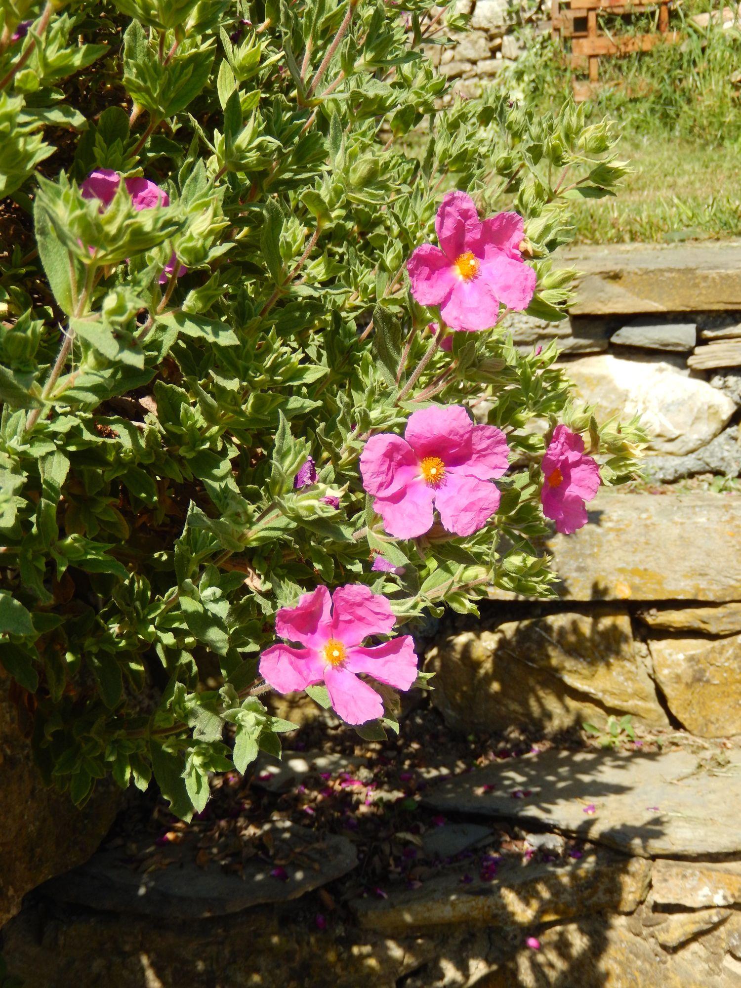 Blooming Cistus (Private garden - Dolcedo, Imperia, Italy - maggio 2015)