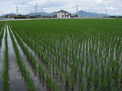 How To Grow Rice Growing Rice Aquaponic Gardening Aquaponics