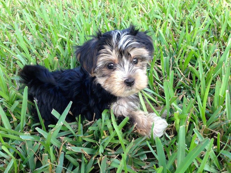 Morkie pups for sale florida michelines pups ocala Pup