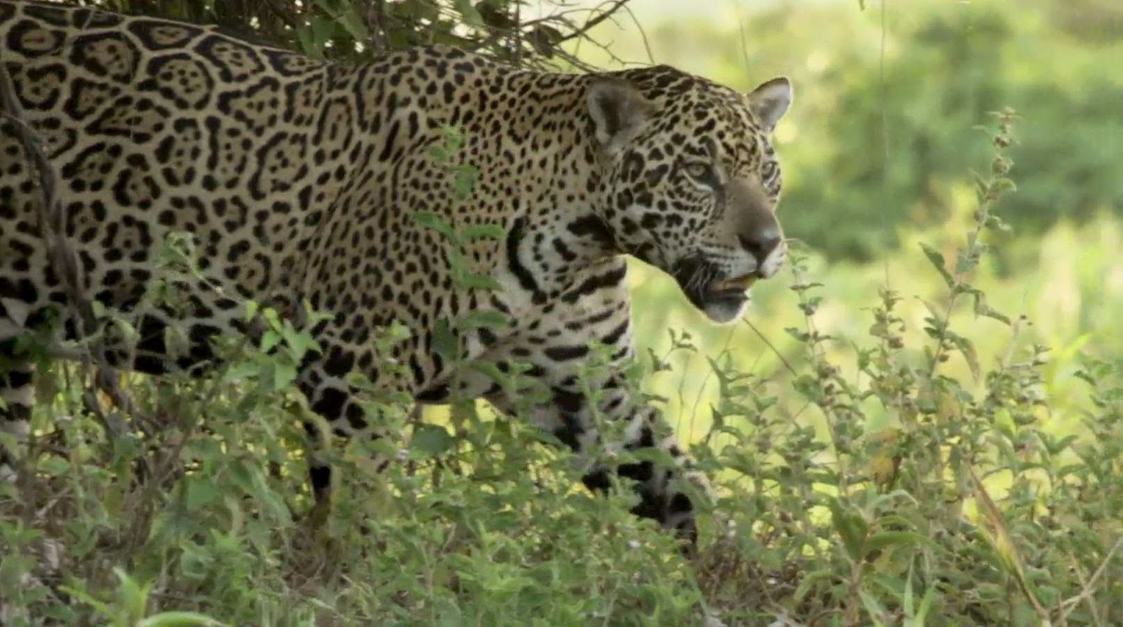 Can Dr Alan Rabinowitz Save Jaguars Before It S Too Late
