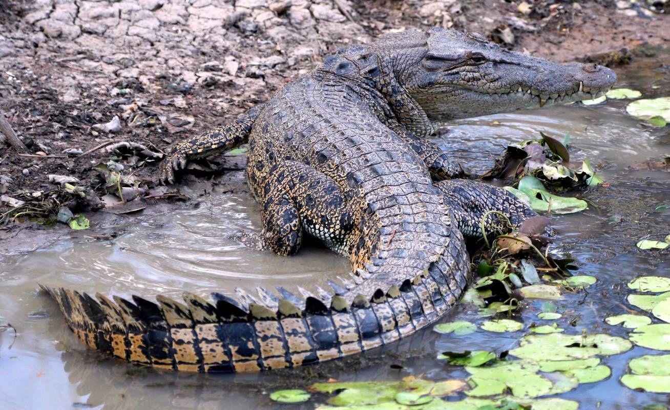 Leistenkrokodil Leistenkrokodil Salzwasserkrokodil Krokodil