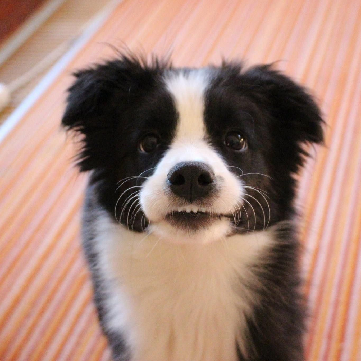 Amy The Border Collie Do You Love Cute Dogs Like This Follow Our Petsdope Pinterest Account To See Other Cute P In 2020 Cute Baby Animals Cute Animals Cute Dogs