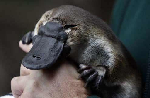 Baby Platypus Swimming