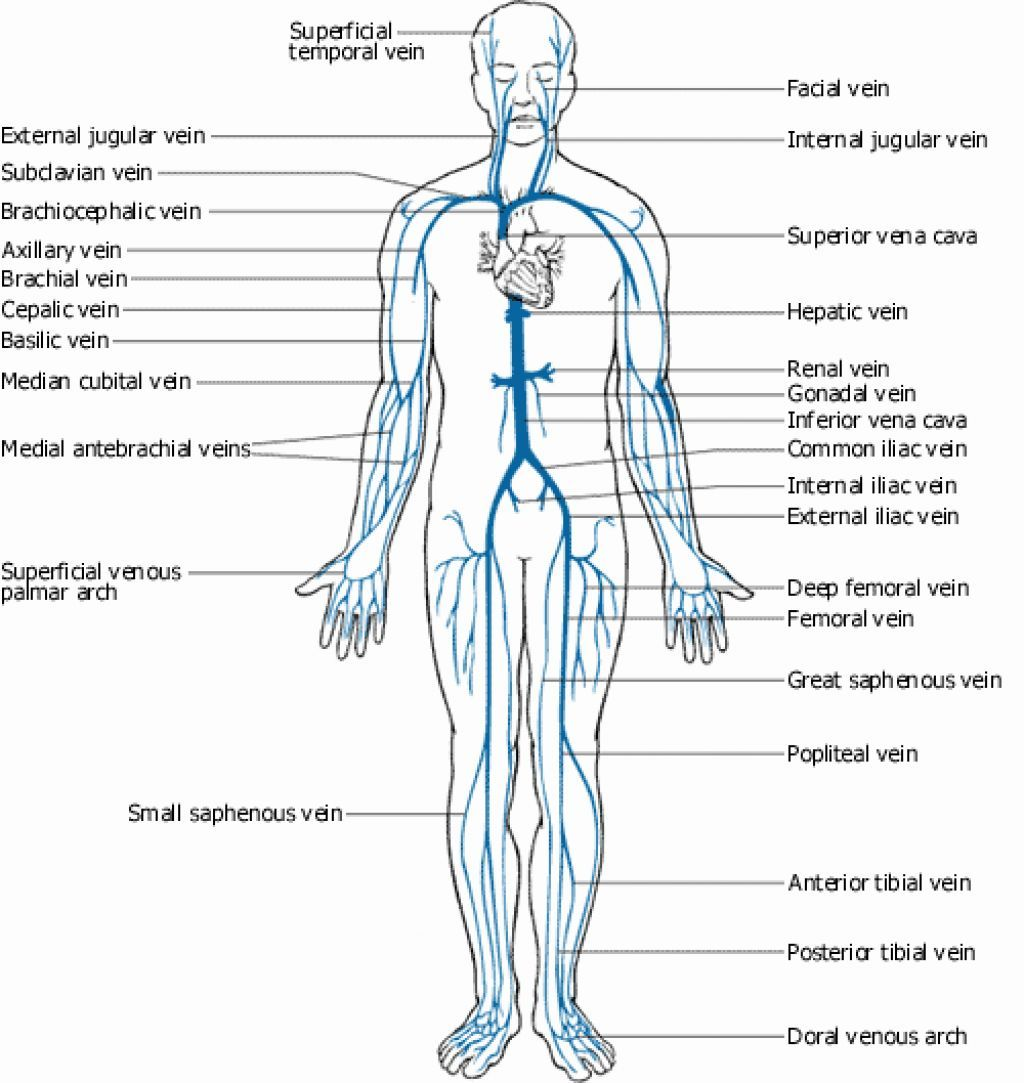 medium resolution of veins and arteries of the body diagram google search