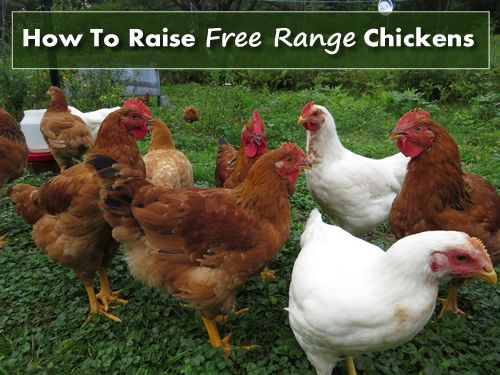 How To Raise Free Range Chickens - 5 tips to help you take ...