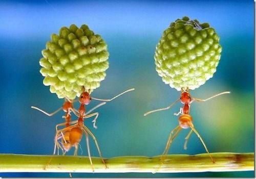 Working... carmen miranda ants