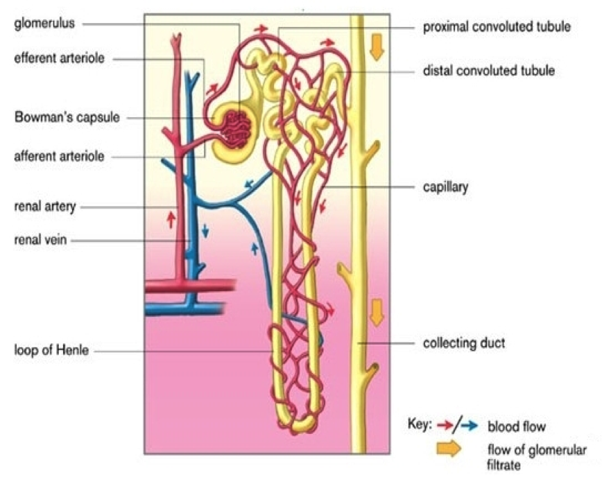 Nephron yahoo image search results renal system pinterest nephron yahoo image search results ccuart Image collections