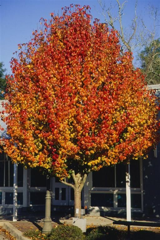 Aristocrat pear is an outstanding medium sized ornamental shade tree for home landscapes the - Fastest growing ornamental trees ...