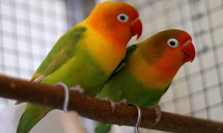 طائر الفيشر لوحة فنية مذهلة لكائن الحب In 2020 Love Birds Bird Parrot