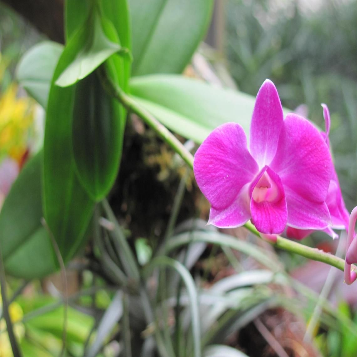 Pink orchid wallpaper pinterest pink orchids