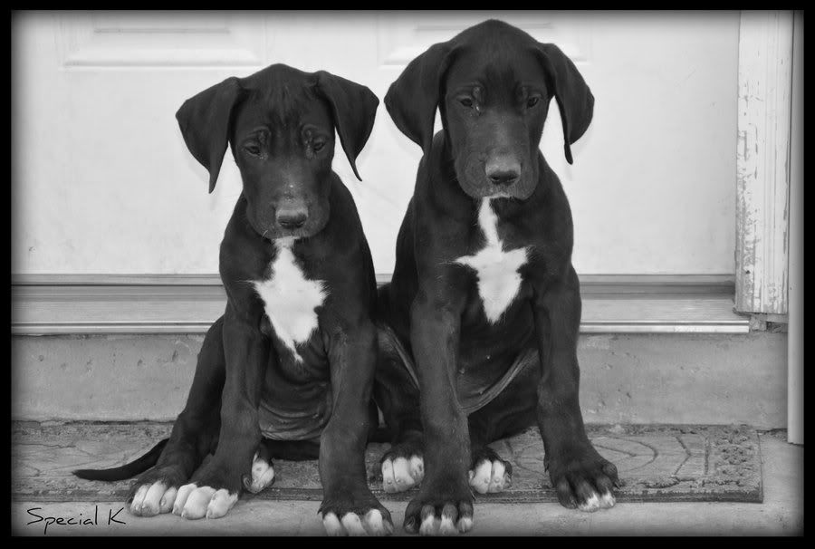 Great Dane And Lab Mix Google Search Great Dane Puppy