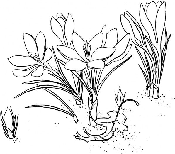 Crocus 1 Coloring Pages Floral Drawing Free Printable Coloring