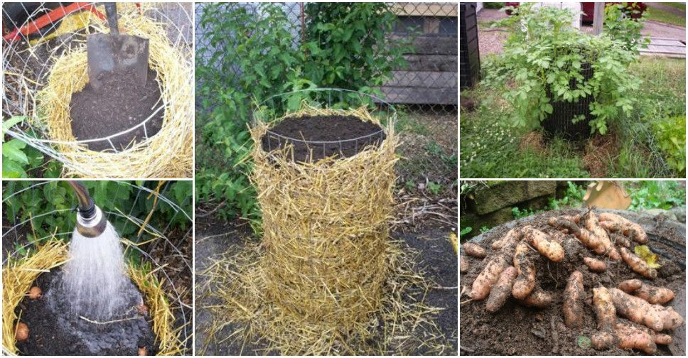 How To Make Potato Towers Gardeningoutdoors Pinterest Gardens