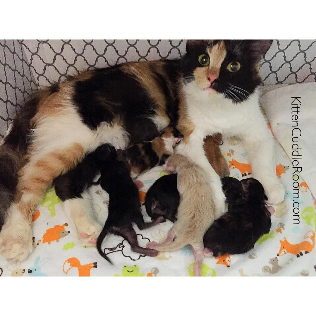 I m Sarah from kittencuddlerm and I foster pregnant momma cats