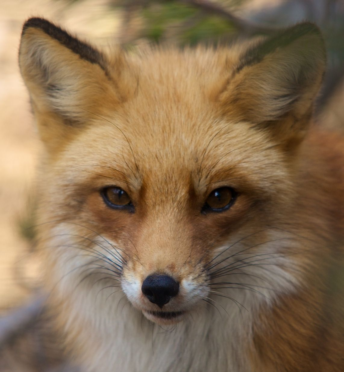 raposa foxes pinterest red fox foxes and animal
