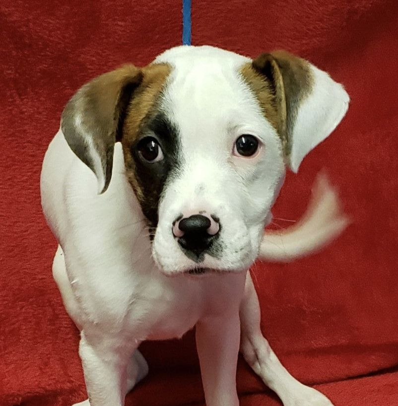 Adopt Flick On Pitbull Terrier Terrier Mix Dogs Dogs