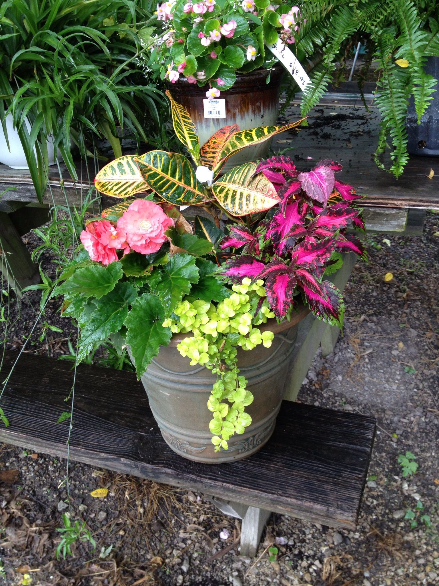 Croton Coleus Tuberous Begonia And Creeping Jenny Make For A Colorful Shade Planter Garden Containers Garden Pots Side Garden