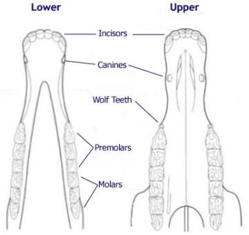 Diagram of a horse's mouthtop and bottom jaw   I want