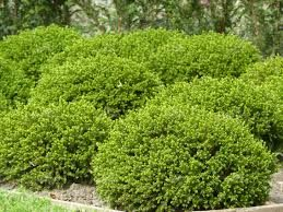 Pack of THREE Plants Hebe Emerald Green Globe
