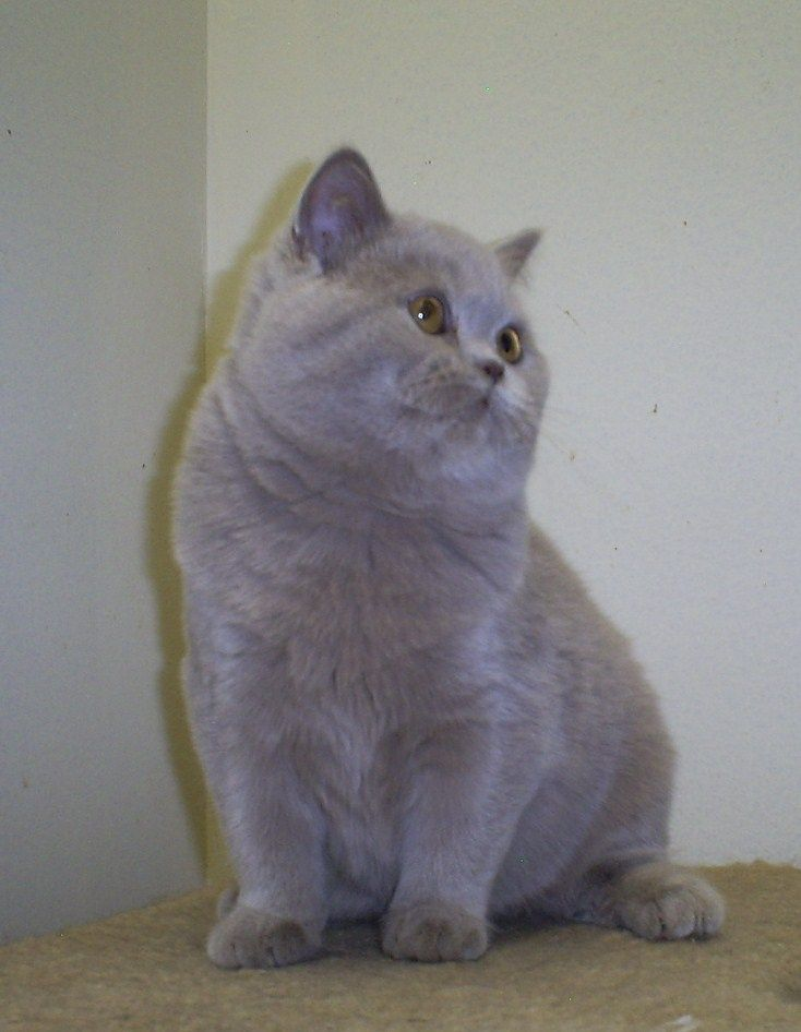 Lilac British Shorthair Male Scottish Fold Kittens British Shorthair Cats Cat Scottish Fold