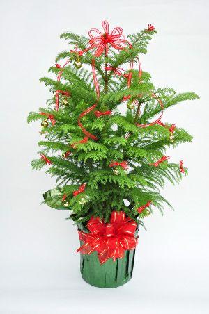 Decorated Norfolk Island Pine Christmas Plants House