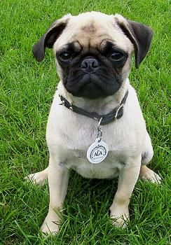 Pug I Have One Of These Her Name Is China 0 Pugs For