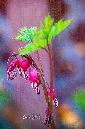 Bleeding Heart Flowers By Anita Pollak Bleeding Heart Flower Bleeding Heart Flower Heart