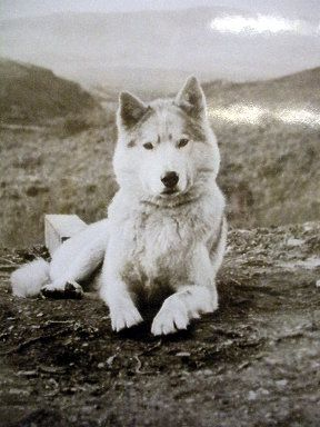 Pin On Huskies Dogsledding