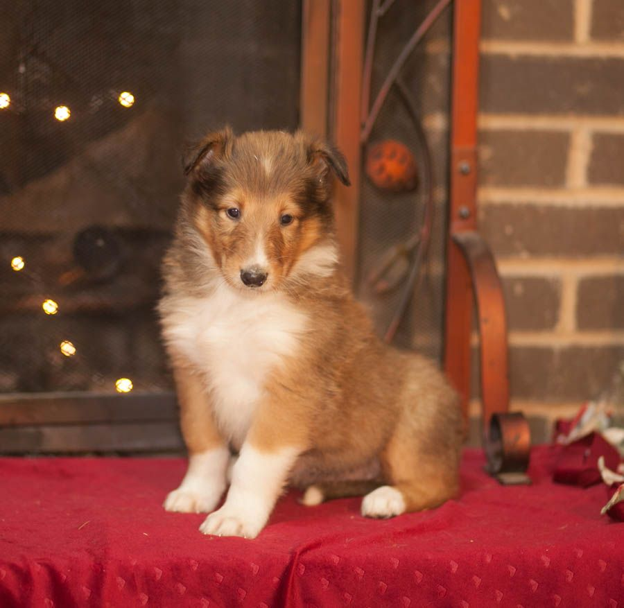 Collie Puppies For Sale Lancaster Puppies Julie S Doggy Board