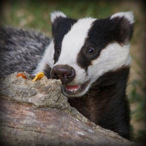 Excited Badger Cub!!! (by wendysalisbury)