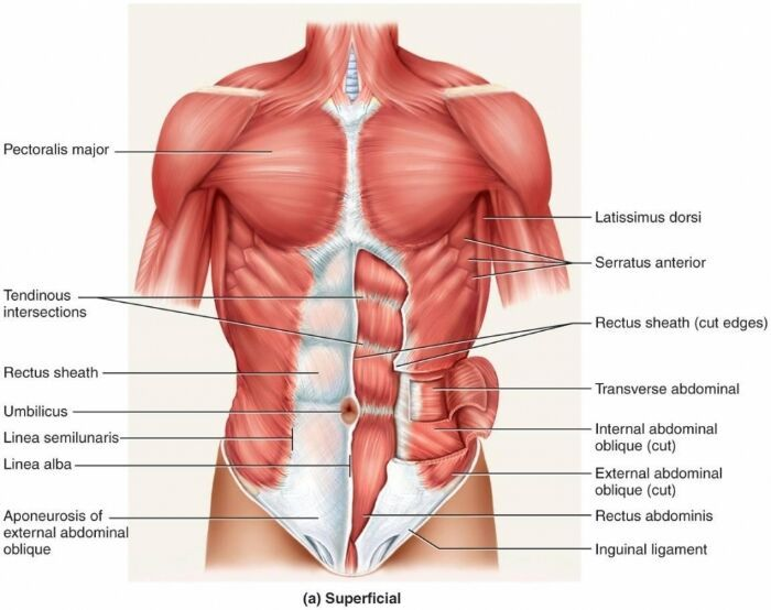 Muscle Superficial Anatomy Anatomy Note Anatomynote