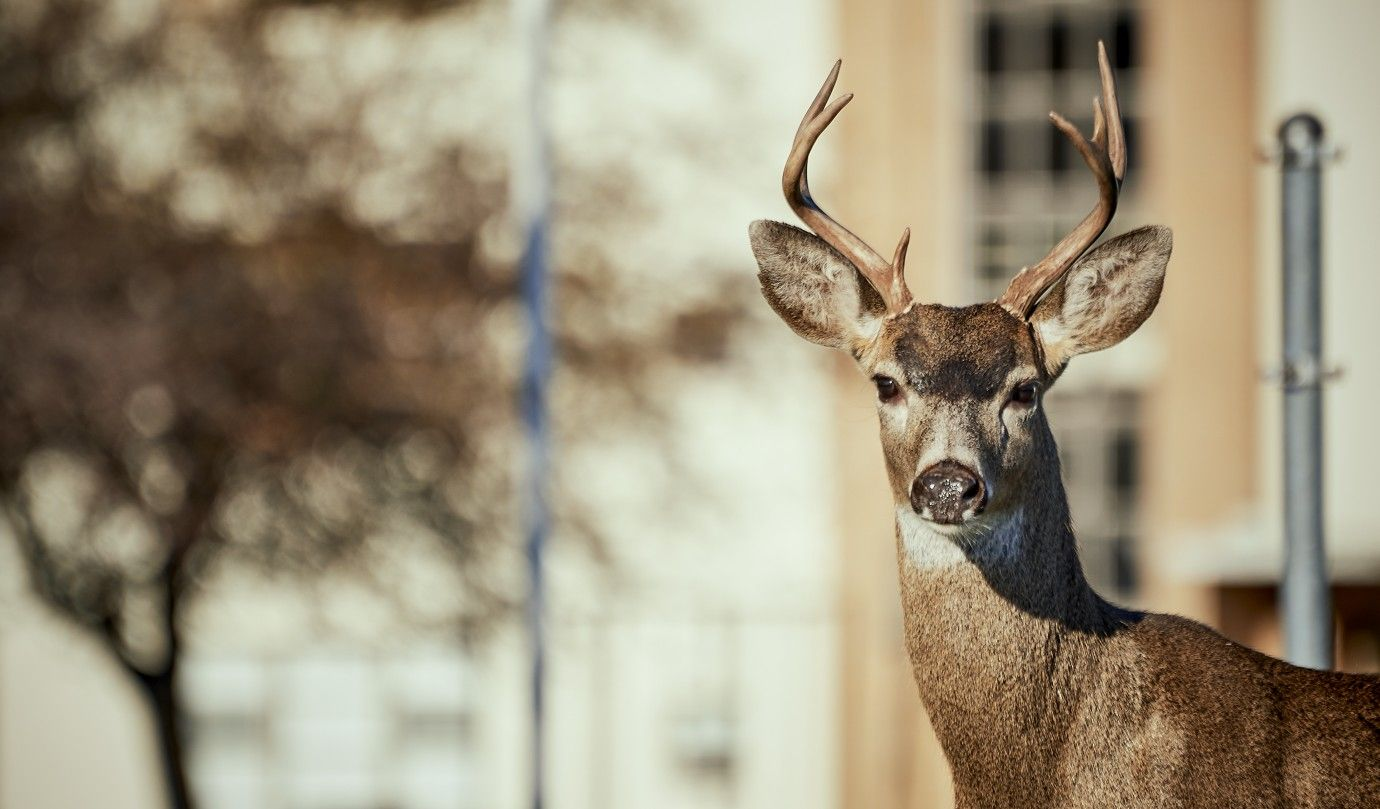 You know you're in #VictoriaBC when you see a buck like this in the city