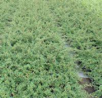 achat cotoneaster dammeri 39 eichholz 39 jeune plante en godet. Black Bedroom Furniture Sets. Home Design Ideas