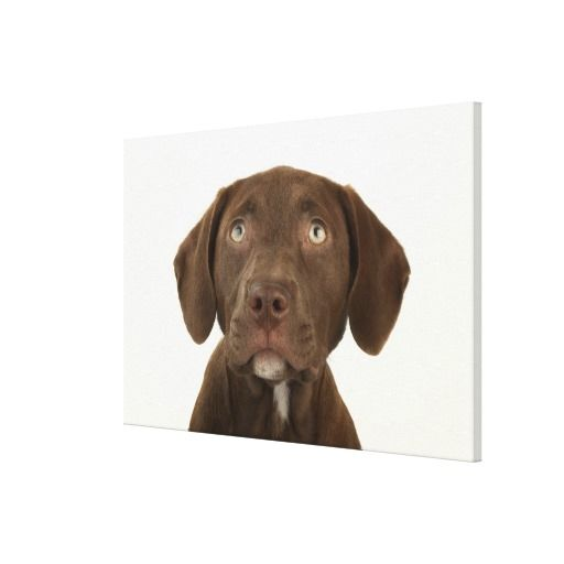 =>>Cheap          Four-Month-Old Chocolate Lab Puppy Portrait Stretched Canvas Print           Four-Month-Old Chocolate Lab Puppy Portrait Stretched Canvas Print online after you search a lot for where to buyReview          Four-Month-Old Chocolate Lab Puppy Portrait Stretched Canvas Print ...Cleck Hot Deals >>> http://www.zazzle.com/four_month_old_chocolate_lab_puppy_portrait_canvas-192173058325986282?rf=238627982471231924&zbar=1&tc=terrest