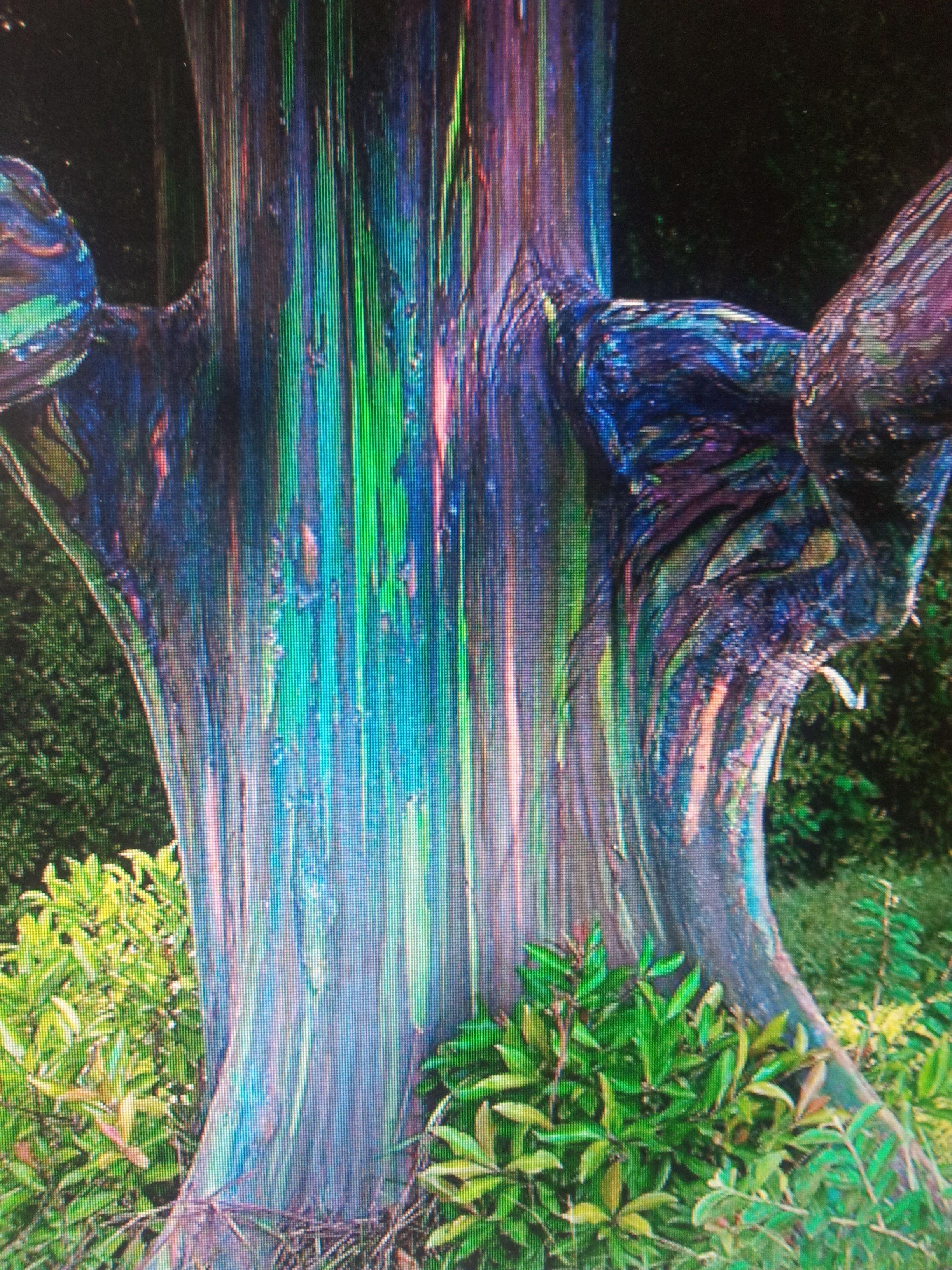Rainbow Eucalyptus Trees With Videos Rainbow Eucalyptus Tree Rainbow Eucalyptus Rainbow Tree