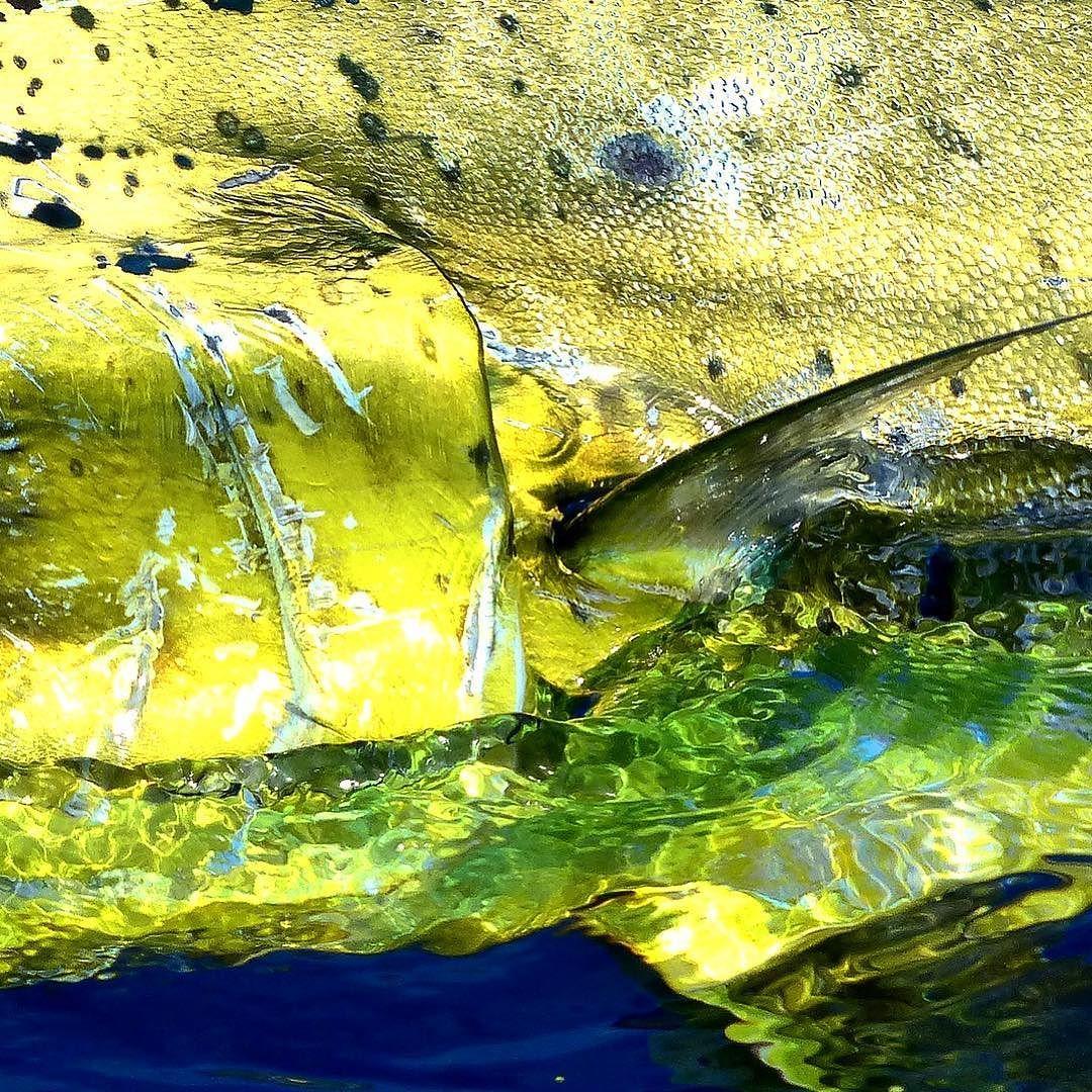 Closeup of the incredible greengold scales of a Mahi
