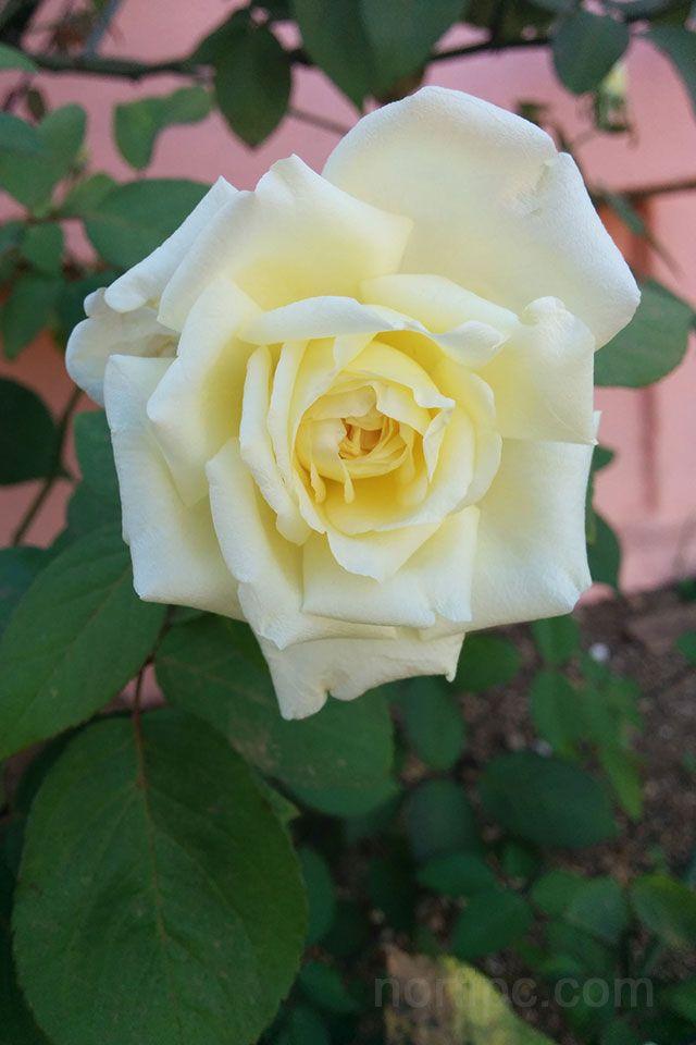 Fotos de flores y rosas para fondo de pantalla del celular y tableta ...
