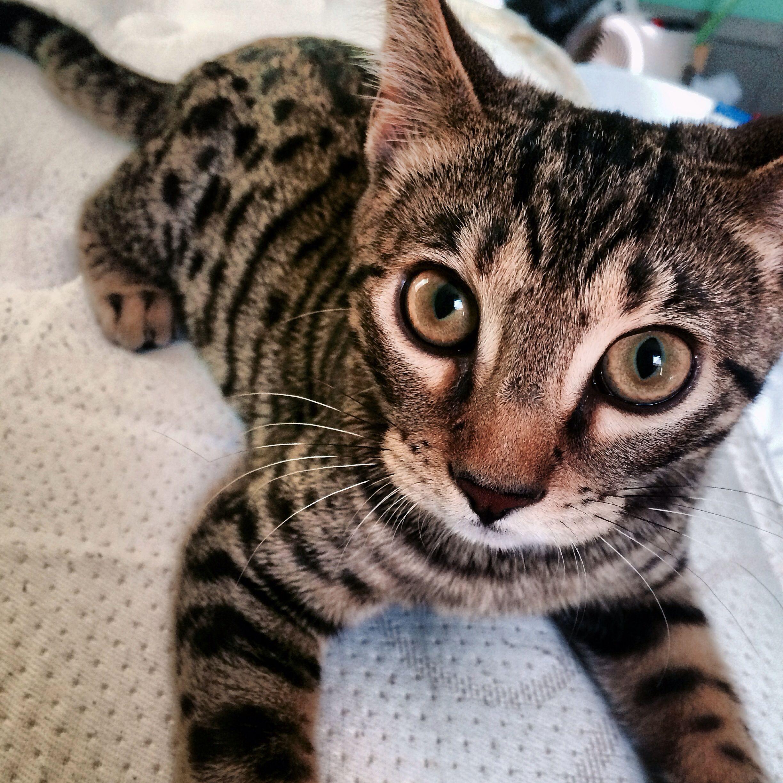 F6 Bengal Silver Bengal Cat Bengal Cat Bengal Kitten