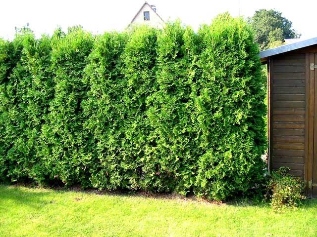 brabant thuja occidentalis google otsing okaspuud pinterest thuja occidentalis and gardens. Black Bedroom Furniture Sets. Home Design Ideas