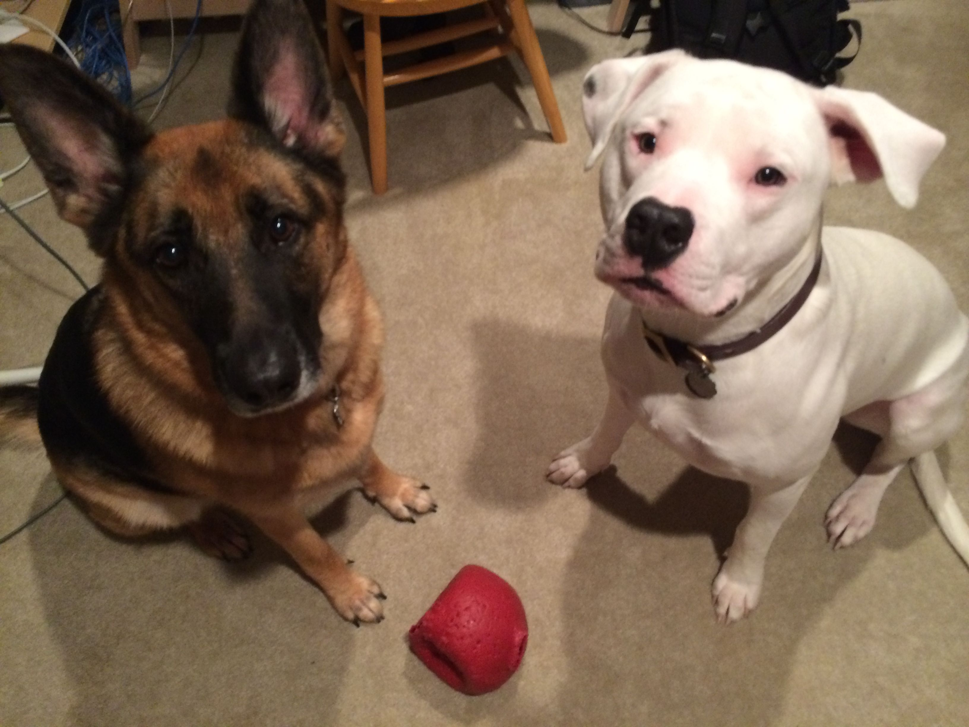 Zeke Dogo Argentino And Keira German Shepherd Love Them Both Dogo Argentino German Shepherd Animals