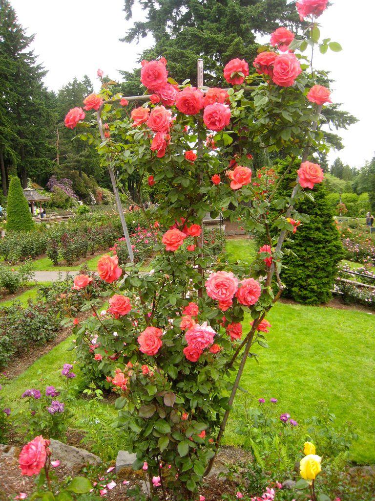 Climbing Rose America Climbing Roses Rose Garden Landscape Container Roses