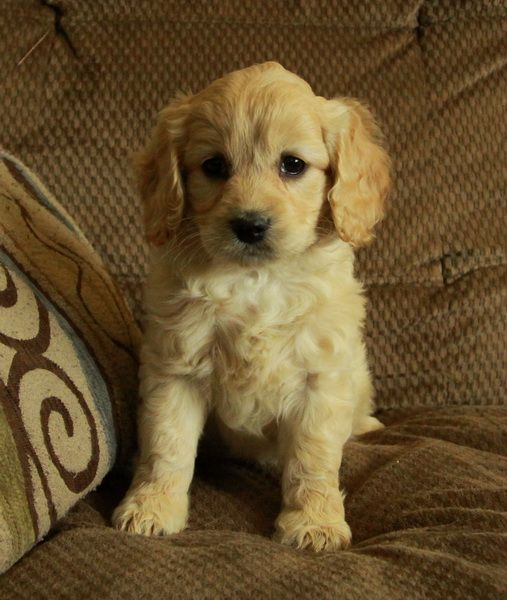 Puppies For Sale Cockapoo Puppies Puppies Puppies For Sale