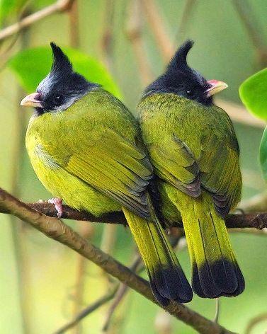 Beautiful Crested Finchbills