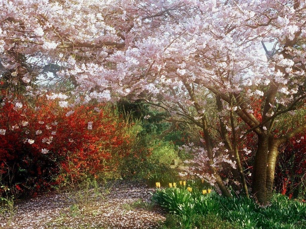 1024x768 Flower Cherry Blossom Walk Fruit Trees Gardens White Pink Roads Japanese Cherry Tree Blossom Garden Cherry Tree