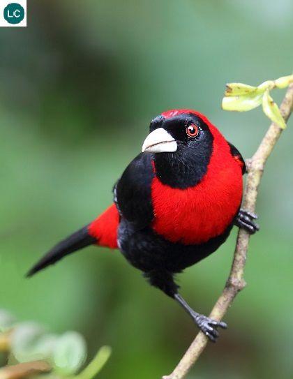 https://www.facebook.com/pages/THI%C3%8AN-NHI%C3%8AN-K%E1%BB%B2-TH%C3%9A/171150349611448?ref=hl Chim Tanager vòng cổ đỏ; Mexico và Trung Mỹ | Crimson-collared tanager (Ramphocelus sanguinolentus)(Thraupidae)(Ramphocelus) IUCN Red List of Threatened Species 3.1 : Least Concern (LC)(Loài ít quan tâm)