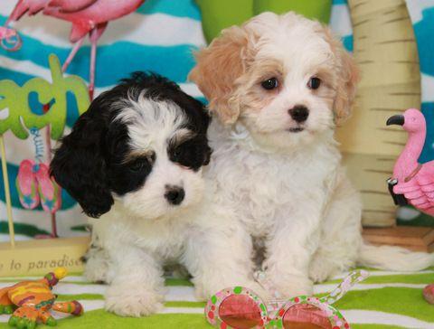 Available Cavachon Puppies Foxglove Farm Hunde Babys Susse Tiere Hunde