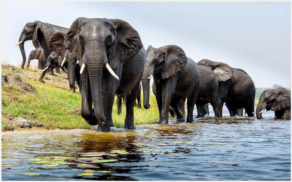 Asian Elephants Wallpaper